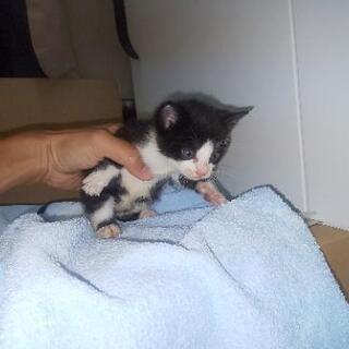 [里親さん決まりました]子猫生後1ヶ月くらい 黒と黒白