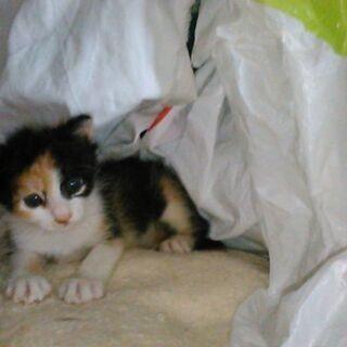 1か月半子猫 緊急募集(3)