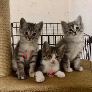 子猫の里親募集※無事二匹の里親決まりました!