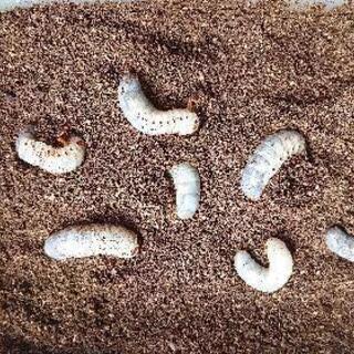 ヘラクレスオオカブト(ヘラクレス・ヘラクレス)の幼虫