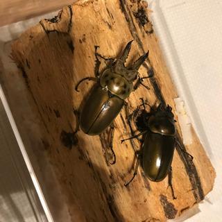 ババオウゴンオニクワガタ 幼虫