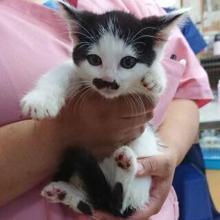 黒白チョビ髭オス子猫