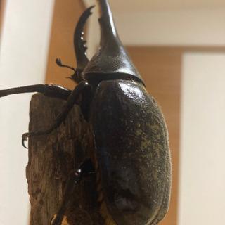 ヘラクレスオオカブト 初令幼虫