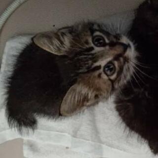 キジ猫(女の子)1ヶ月半