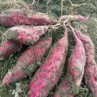 サツマイモのお芋掘りを行います!