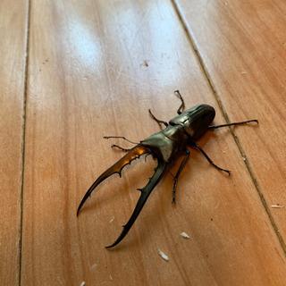 ペレメタ幼虫3匹セット