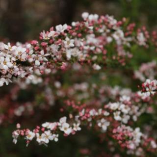 ユキヤナギ  赤花