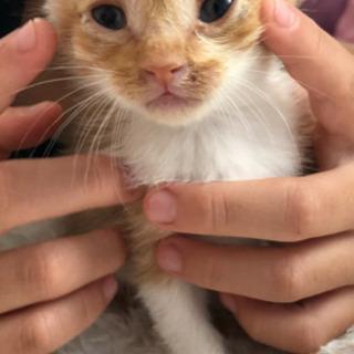 届け出ずみで飼い主なしの確認済み、生後一ヶ月半くらいの猫です