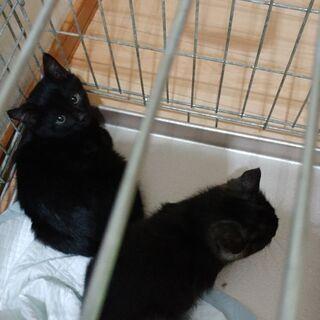 2匹黒子猫の里親探しています!