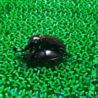 紫紺ニジイロクワガタ 幼虫5匹セット