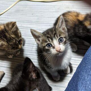 生後2.5ヶ月の子猫です