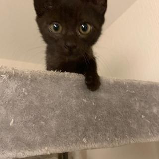 トライアルスタート 性格二重丸!元気な黒猫くん 生後4ヶ月ほど