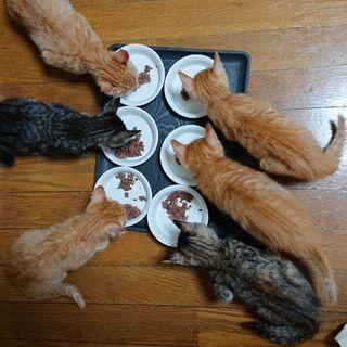 里親募集 生後2ヶ月子猫6匹