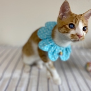 ハンデは個性の茶太郎『10/25譲渡会』 - 猫