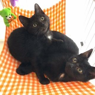 【譲渡会参加】かわいすぎる黒猫兄妹・ほたて君とえびちゃん