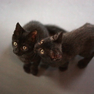 【譲渡会参加】人間大好きで元気一杯・いい子すぎる黒猫兄妹