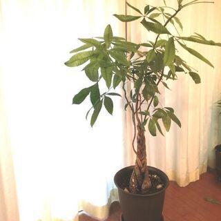 値下げ 観葉植物 パキラ イケア購入 160cm