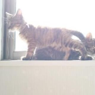 3ヶ月のキジトラ子猫ちゃん兄弟
