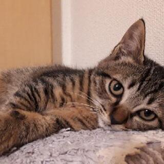 ぺちゃんこ顔がチャームポイント✨キジ子猫