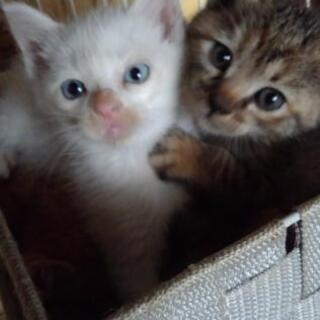 白ブルーアイ1 白2 茶白1 キジ1 生後1ヶ月半🐾