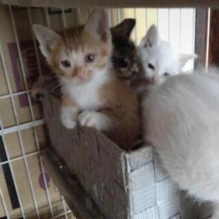 白ブルーアイ1 白2 茶白1 キジ1 生後1ヶ月半🐾 − 滋賀県
