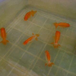 金魚-らんちゅう-まとめて割引