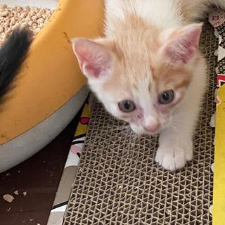 2か月の珍しい毛色の子猫(オス) 警察など届け済み