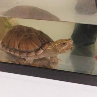 ミシシッピニオイガメ ☆世界最小の亀