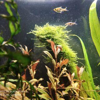 【熱帯魚】ラスボラエスペイ - その他