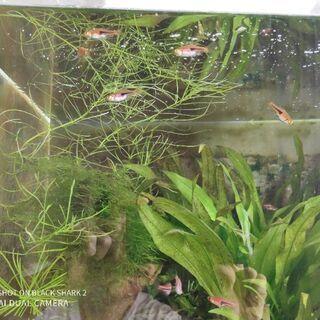 【熱帯魚】ラスボラエスペイ