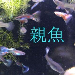 国産 ミックスグッピーの稚魚 20匹で500円