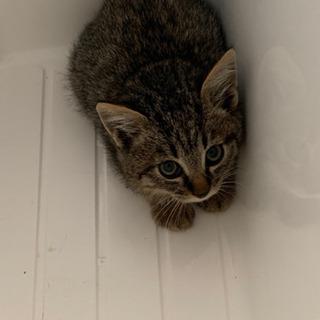 生後1〜2ヶ月くらいのキジトラのモフモフ子猫とグレー子猫