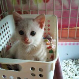 2ヶ月白子猫さん