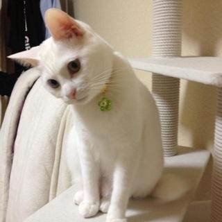 オッドアイの白猫です - 北九州市