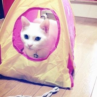 オッドアイの白猫です − 福岡県