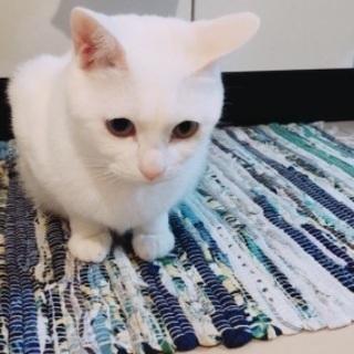 オッドアイの白猫です - 猫