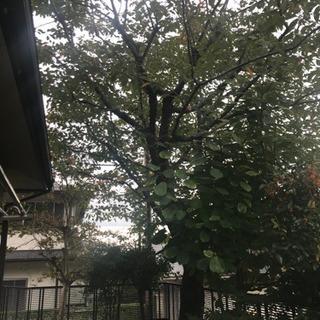 桜の木 一本 伐採