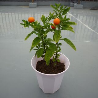 フユサンゴ(冬珊瑚)実がオレンジ色~赤色に変化 2株/鉢 高さ約...