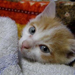 離乳期のオスの子猫です(チャシロ)。