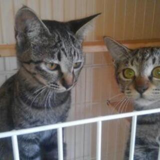 【現在受付休止中】仔猫の里親様募集(特典付)