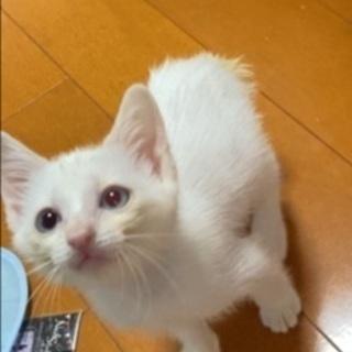 生後2ヶ月くらいの白猫の女の子