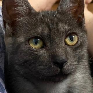 珍しいスモークグレーの美形女子! 泣き声特徴有 5ヶ月 かわいいです