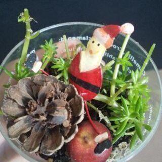 2 クリスマスバージョン 多肉植物 セダム