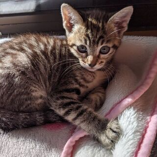 生後1ヶ月位の子猫もらってください