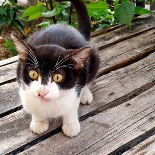 生後約7か月可愛い雄の子猫です。保護して5日目もう家猫化