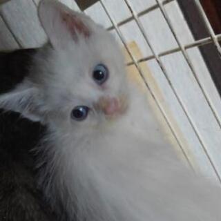 白ブルーアイ1 白2 茶白1 キジ1 生後1ヶ月半🐾 - 里親募集