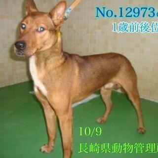 屋久島犬風の若い男の子です 新しい家族を探しています