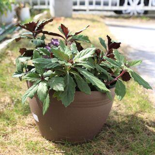 ハンダマ・金時草・水前寺菜の寄せ植えプランター