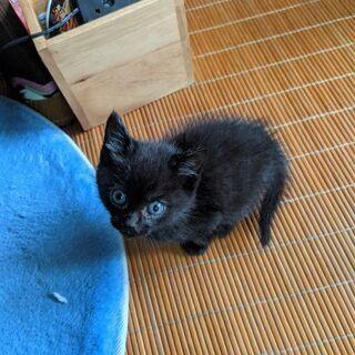 只今交渉中。 生後6週間ぐらいの元気なクロチビ猫ちゃん