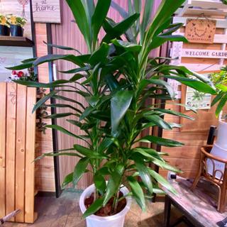 大型観葉植物 ドラセナ・グローカル 10号
